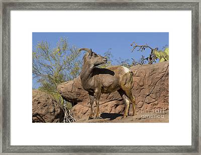 Desert Bighorn Sheep Ewe Framed Print by Kenneth M. Highfill