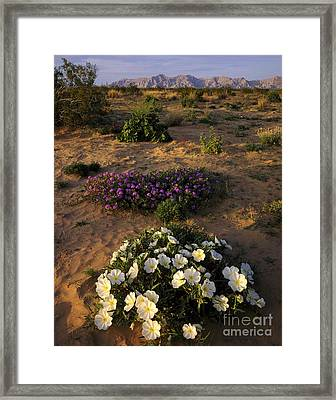 Desert Flowers, Arizona Framed Print