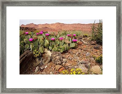 Desert Cactus In Bloom Framed Print