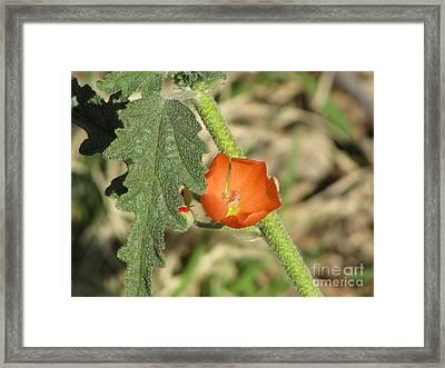 Desert Globemallow Bloom 202 Framed Print