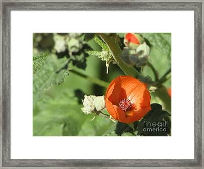 Desert Globemallow Bloom 215 Framed Print