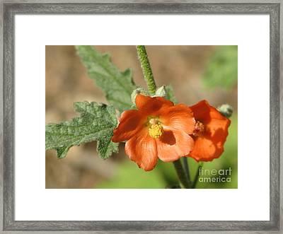 Desert Globemallow Bloom 220 Framed Print