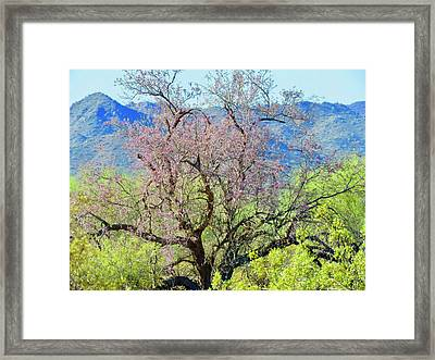 Desert Ironwood Beauty Framed Print