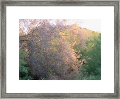 Desert Ironwood Blooming In The Golden Hour Framed Print