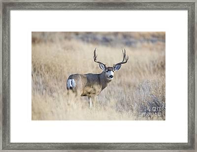 Desert King Framed Print