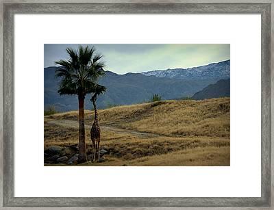 Desert Palm Giraffe 001 Framed Print by Guy Hoffman