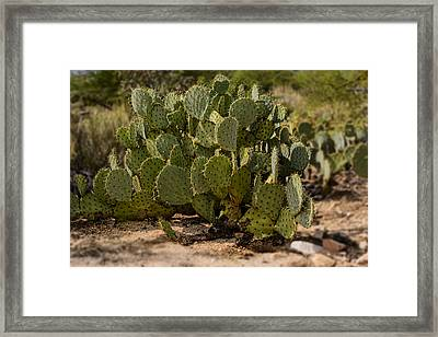 Desert Prickly-pear No6 Framed Print by Mark Myhaver