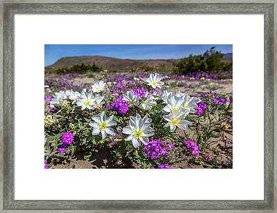 Desert Super Bloom 2017 Framed Print by Peter Tellone