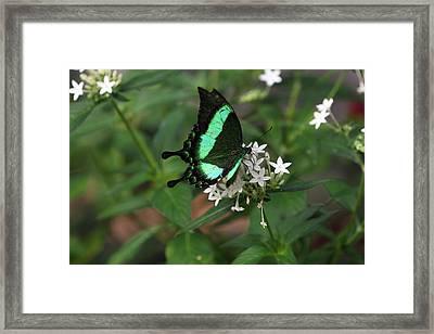Desert Swallow Tail Framed Print by David Yunker