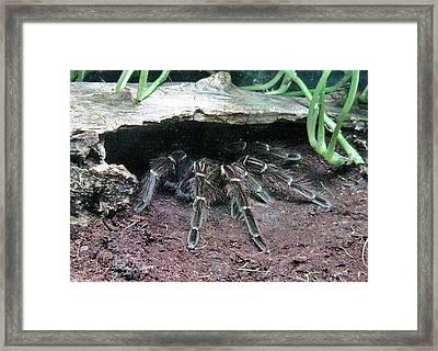 Desert Tarantula Framed Print