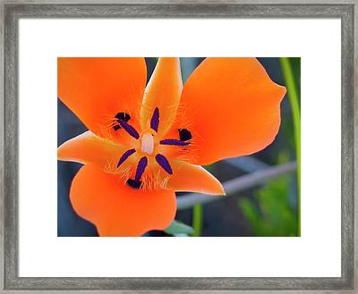Desert Wildflower Framed Print by Penny Lisowski