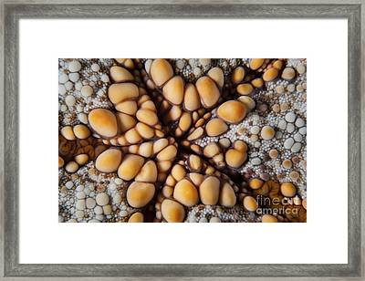 Detail Of A Pin Cushion Starfish Framed Print by Ethan Daniels