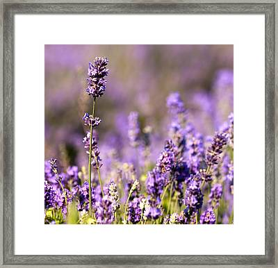 Detail Of Lavender Flower Framed Print by Boyan Dimitrov