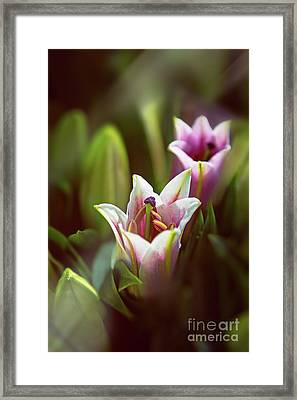 Detail Of Pink And White Oriental Lilies In Sunlight. Framed Print
