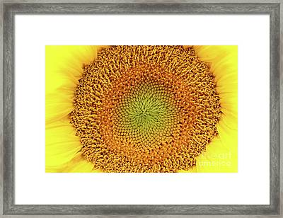 Detail Of The Bloom Of Sunflower Framed Print