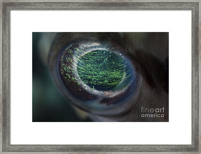 Detail Of The Eye Of A Porcupinefish Framed Print