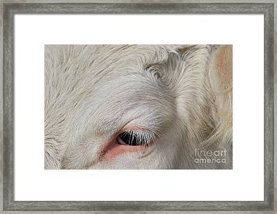 Detail Of The Head Of A Cow Framed Print by Nick Biemans