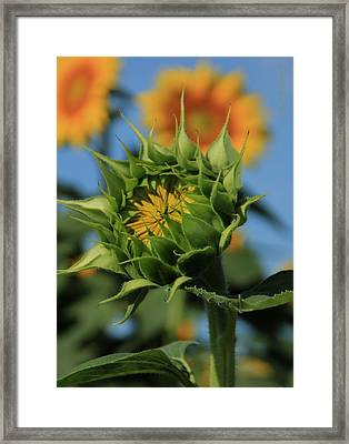 Developing Petals On A Sunflower Framed Print by Chris Berry