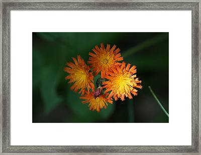 Framed Print featuring the photograph Devils Paintbrush by Ron Read
