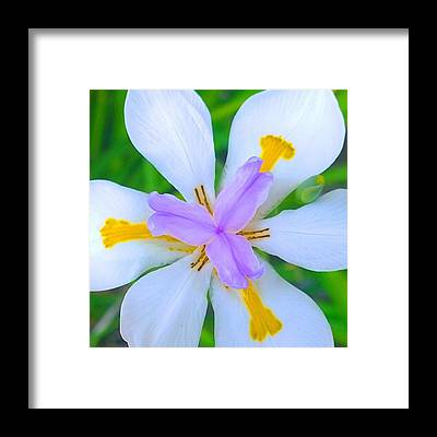 Lilies Framed Prints