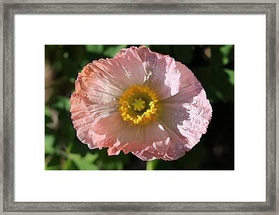 Dew Drop Poppy Framed Print