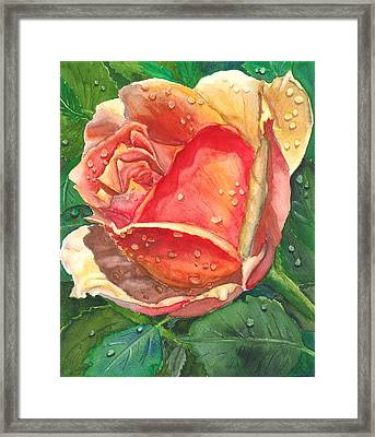 Dew Drop Rose Framed Print by Robert Thomaston