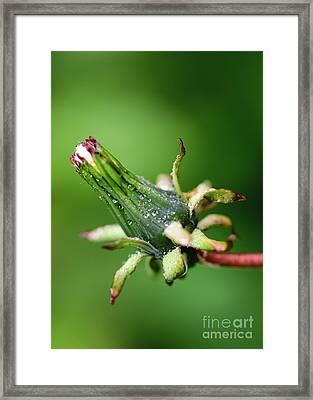 Dew Drops On Old Dandelion Framed Print by Cristian Prisecariu