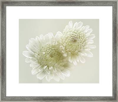 Dew Drops On White Chrisantemus Framed Print by Flower photography by Viorica Maghetiu