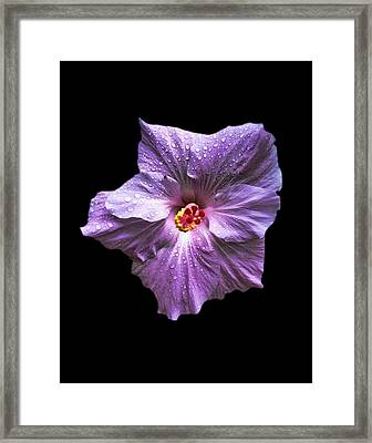 Dew Kissed Hibiscus Framed Print