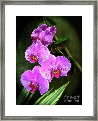Dew-kissed Moth Orchids Framed Print