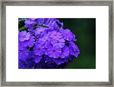Dew Kissed Summer Phlox Framed Print