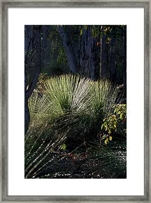 Dew On A Grass Tree Framed Print