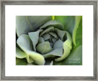 Dew On Common Mullein Framed Print