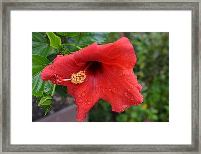 Dew On Flower Framed Print