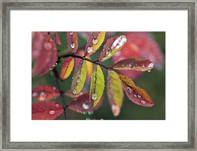 Dew On Wild Rose Leaves In Fall Framed Print by Darwin Wiggett