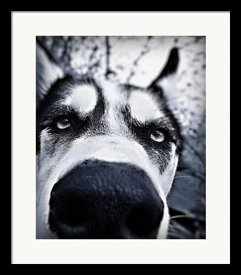 Huskies Framed Prints