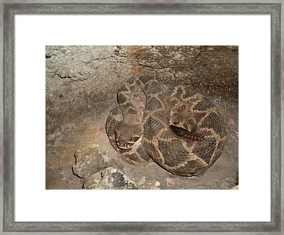 Diamondback Rattlesnake Framed Print by Warren Thompson