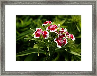 Dianthus Barbatus Framed Print