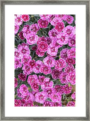 Dianthus Gold Fleck Framed Print by Tim Gainey