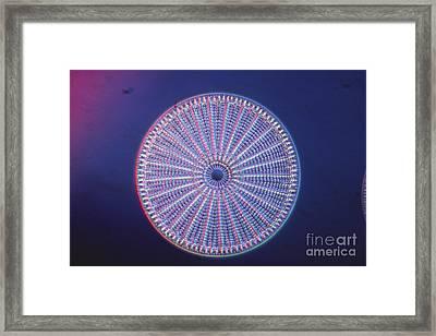 Diatom - Arachnoidiscus Ehrenberi Framed Print