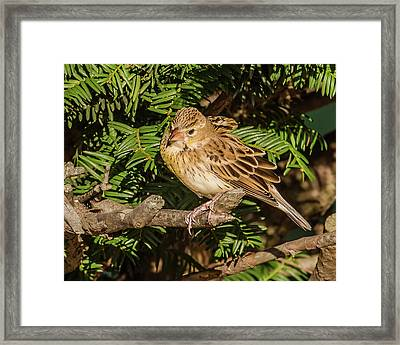 Dickcissel On A Branch Framed Print