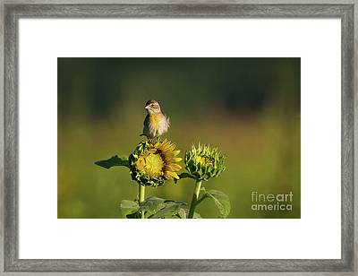 Dickcissel Sunflower Framed Print