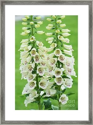Digitalis Purpurea Primrose Carousel Framed Print
