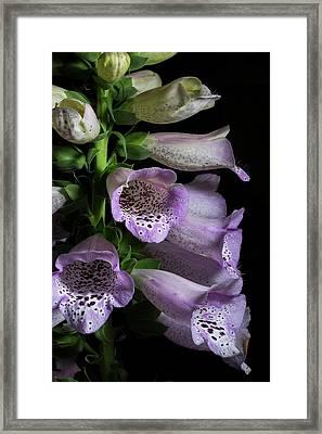 Digitalis Purpurea Framed Print