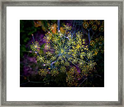 Dill Going To Seed Framed Print by Bill Swartwout