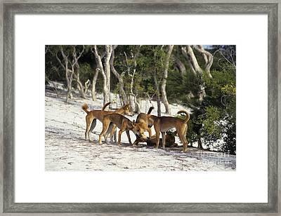 Dingos Defending Territory Framed Print by Jean-Louis Klein & Marie-Luce Hubert