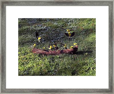 Goldfinch Convention Framed Print by Nick Kloepping