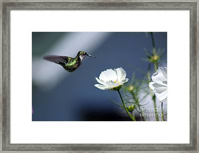 Dip And Sip  Framed Print