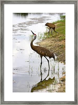 Dip In The Pond Framed Print by Carol Groenen