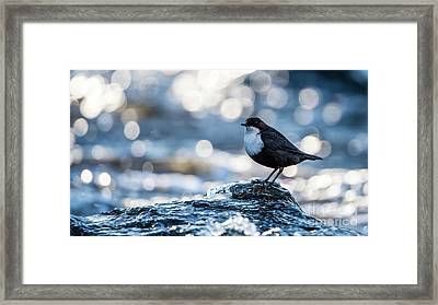 Dipper On Ice Framed Print by Torbjorn Swenelius